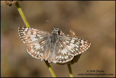 Northern White-Skipper (Heliopetes ericetorum)