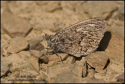 Ridings' Satyr (Neominois ridingsii)