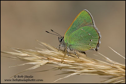 Bramble Hairstreak (Callophrys dumetorum)