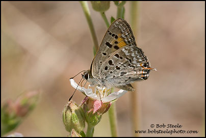 Tailed Copper (Lycaena arota)