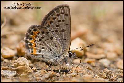 Veined Blue (Plebejus neurona)