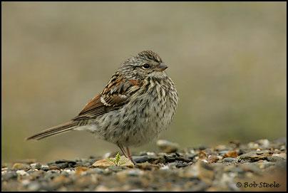 Bob Steele Photography American Tree Sparrow Spizella Arborea Photo
